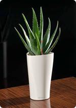 Aloe in LECHUZA pflanzen